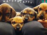 Собаки, щенята Гладкошерста такса, ціна 800 Грн., Фото
