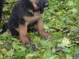 Собаки, щенята Німецька вівчарка, ціна 3600 Грн., Фото