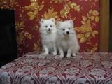 Собаки, щенята Малий шпіц, ціна 10500 Грн., Фото