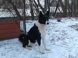 Собаки, щенки Русско-Европейская лайка, цена 600 Грн., Фото
