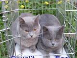 Кішки, кошенята Британська короткошерста, ціна 350 Грн., Фото