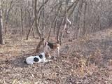 Собаки, щенки Западно-Сибирская лайка, цена 3400 Грн., Фото