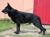 Собаки, щенята Німецька вівчарка, ціна 102000 Грн., Фото