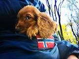 Собаки, щенята Англійський коккер, ціна 700 Грн., Фото
