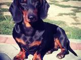 Собаки, щенята Гладкошерста такса, ціна 400 Грн., Фото