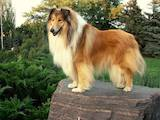 Собаки, щенки Спаривание, цена 16000 Грн., Фото
