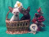 Кошки, котята Ориентальная, цена 4000 Грн., Фото