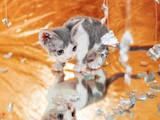 Кошки, котята Девон-рекс, цена 3000 Грн., Фото