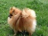 Собаки, щенята Померанський шпіц, ціна 8000 Грн., Фото