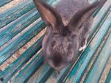 Грызуны Кролики, цена 450 Грн., Фото