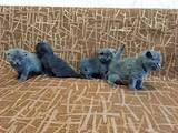 Кошки, котята Шотландская вислоухая, цена 1800 Грн., Фото