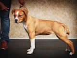 Собаки, щенята Американський стаффордширський тер'єр, ціна 14000 Грн., Фото