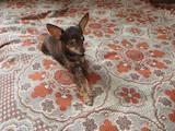 Собаки, щенята Російський гладкошерстий тойтерьер, ціна 900 Грн., Фото