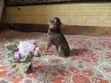 Собаки, щенки Русский гладкошерстный тойтерьер, цена 900 Грн., Фото