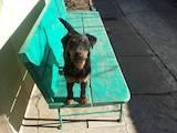 Собаки, щенята Ягдтер'єр, ціна 6750 Грн., Фото