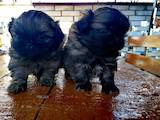 Собаки, щенки Пекинес, цена 1500 Грн., Фото