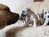 Собаки, щенята Американський стаффордширський тер'єр, ціна 1300 Грн., Фото