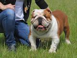 Собаки, щенки Английский бульдог, цена 13500 Грн., Фото