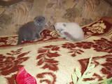 Кошки, котята Шотландская вислоухая, цена 1500 Грн., Фото