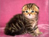 Кішки, кошенята Шотландська висловуха, ціна 10000 Грн., Фото