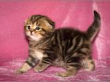 Кошки, котята Шотландская вислоухая, цена 10000 Грн., Фото