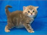 Кошки, котята Шотландская короткошерстная, цена 8000 Грн., Фото