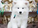 Собаки, щенята Самоїдом, ціна 25000 Грн., Фото
