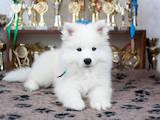 Собаки, щенки Самоед, цена 25000 Грн., Фото