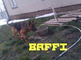 Собаки, щенята Німецька вівчарка, ціна 2900 Грн., Фото