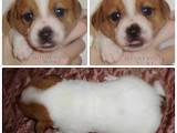 Собаки, щенки Джек Рассел терьер, цена 8000 Грн., Фото