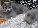 Кошки, котята Британская короткошерстная, цена 2500 Грн., Фото