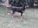 Собаки, щенята Ягдтер'єр, ціна 1000 Грн., Фото