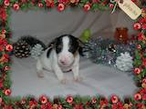 Собаки, щенята Джек Рассел тер'єр, ціна 14900 Грн., Фото