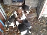 Собаки, щенки Эстонская гончая, цена 1000 Грн., Фото
