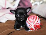 Собаки, щенята Чихуа-хуа, ціна 2400 Грн., Фото