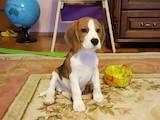 Собаки, щенята Бігль, ціна 7000 Грн., Фото