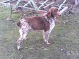 Собаки, щенята Німецька жорсткошерста лягава, ціна 450 Грн., Фото