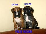 Собаки, щенки Боксер, цена 6000 Грн., Фото