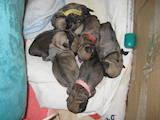 Собаки, щенки Мопс, цена 5000 Грн., Фото