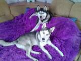 Собаки, щенки Сибирский хаски, цена 1800 Грн., Фото