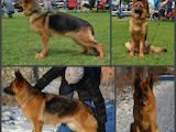 Собаки, щенята Німецька вівчарка, ціна 8100 Грн., Фото
