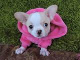 Собаки, щенки Чихуа-хуа, цена 3500 Грн., Фото