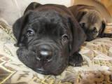 Собаки, щенки Кане Корсо, цена 6500 Грн., Фото