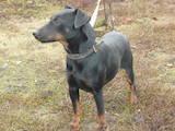 Собаки, щенята Ягдтер'єр, ціна 750 Грн., Фото