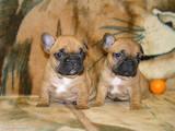 Собаки, щенки Французский бульдог, Фото