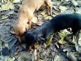 Собаки, щенята Гладкошерста такса, ціна 900 Грн., Фото