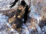 Собаки, щенята Західно-Сибірська лайка, ціна 3400 Грн., Фото