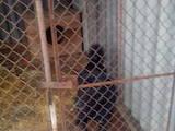 Собаки, щенята Російсько-Європейська лайка, ціна 3900 Грн., Фото