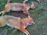 Собаки, щенки Восточно-Сибирская лайка, цена 200 Грн., Фото