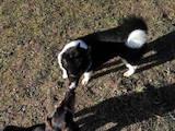 Собаки, щенята Російсько-Європейська лайка, ціна 4800 Грн., Фото
